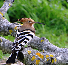 Hoopoe in a fig tree.